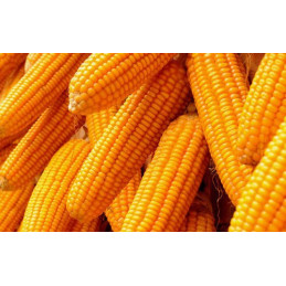 Vg Normal Field corn 5 pieces